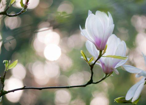 Beverboom magnolia soulangeana avondlicht