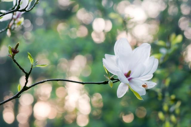 Beverboom - Magnolia soulangeana bokeh avondlicht lente
