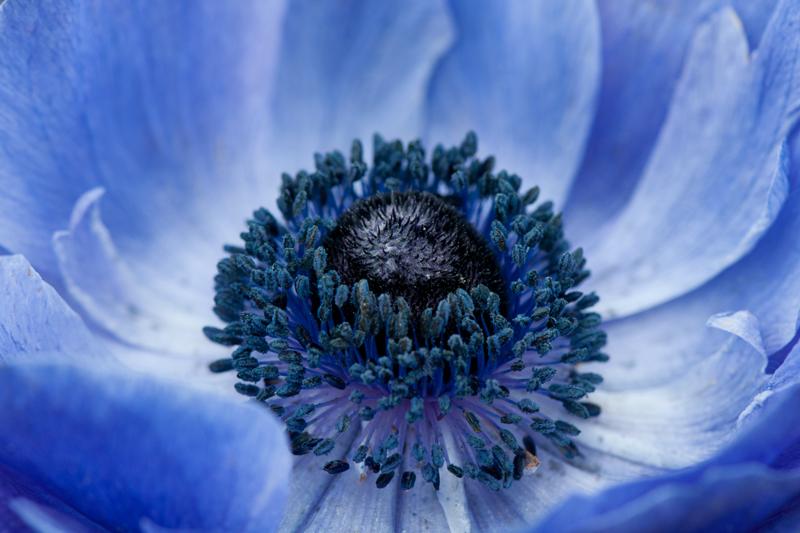 Blauwe anemoon - Anemone mistral close-up