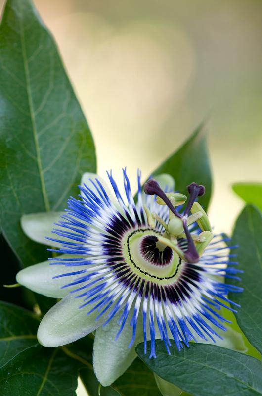 Blauwe passiebloem bokeh - Passiflora caerulea