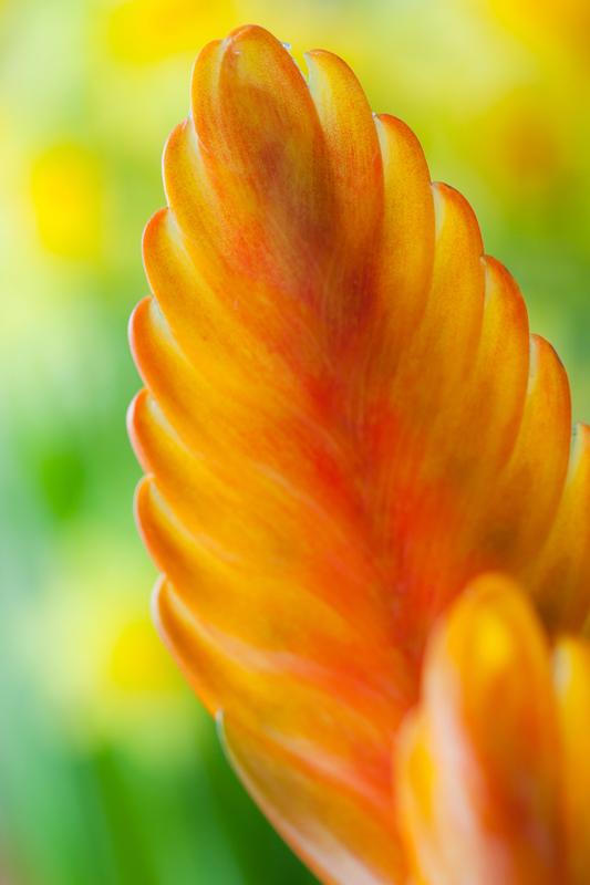 Bromelia vriesea - oranje kamerplant