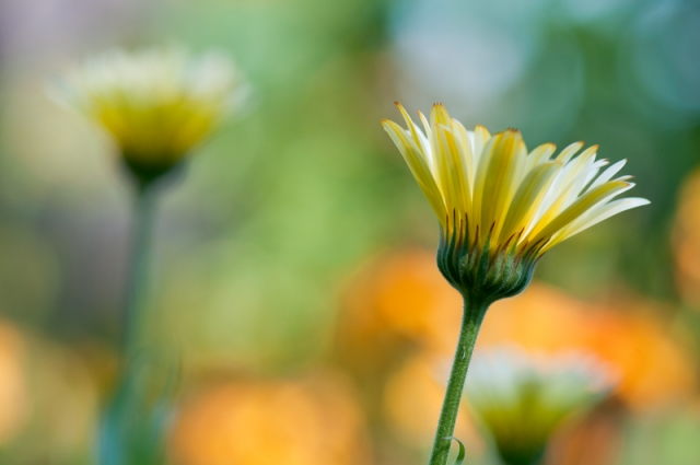 Goudsbloem zomer kleurrijke achtergrond - Calendula officinalis