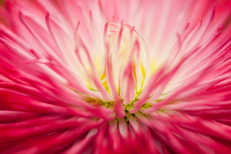 Roze madeliefje - Bellis perennis close-up