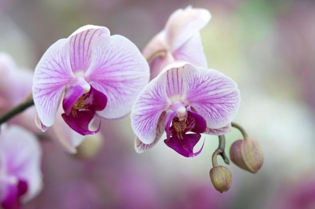 Wit-paarse orchidee zachte achtergrond orchideeënhoeve
