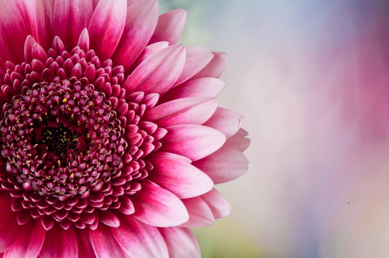 Roze gerbera met een kleurrijke zachte achtergrond artistiek