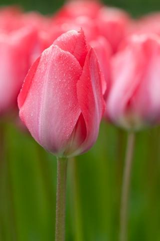 Roze tulpen Keukenhof Lisse