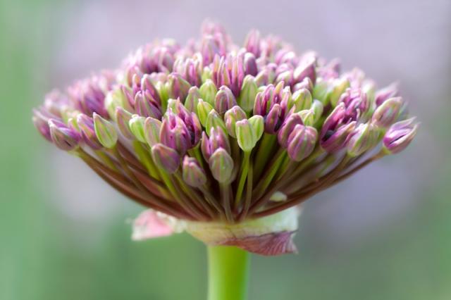 Sierui - Allium
