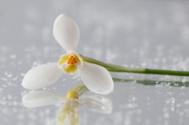 Geel sneeuwklokje op het ijs artistiek - Galanthus Primrose Warburg