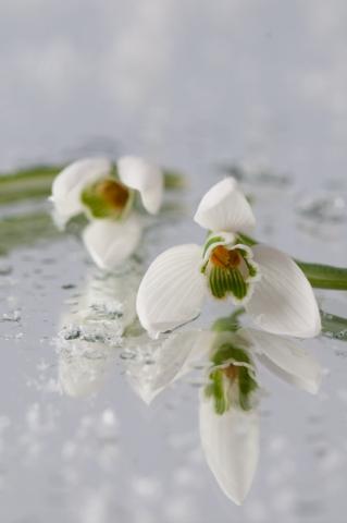Sneeuwklokjes op het ijs winter artistiek - Galanthus nivalis
