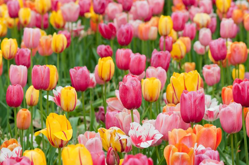 Kleurrijk tulpenveld - de Floriade in Venlo