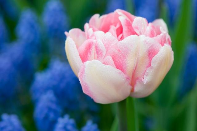 Wit-roze tulp en blauwe druifhyacinten - Keukenhof