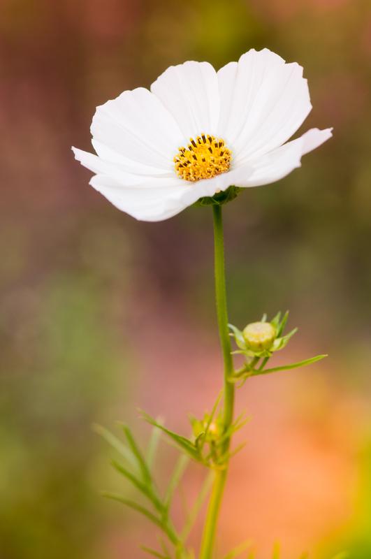 Witte cosmea in het ochtendlicht bokeh (Cosmos bipinnatus)