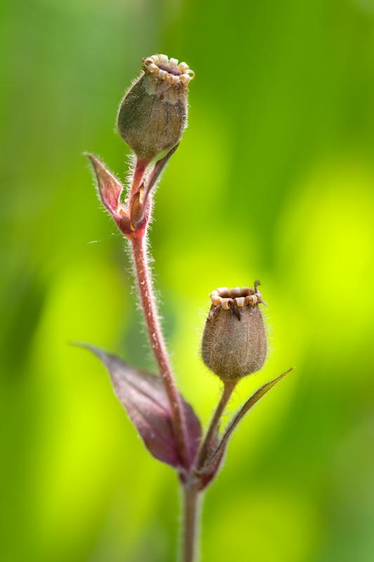 Zaaddoosjes koekoeksbloem bokeh - Lychnis