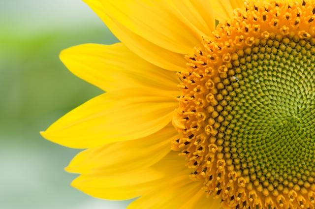 Close-up zonnebloem - Helianthus annuus