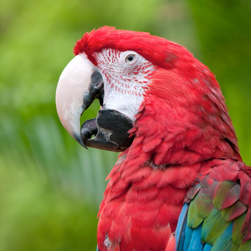 Groenvleugelara red-and-green macaw
