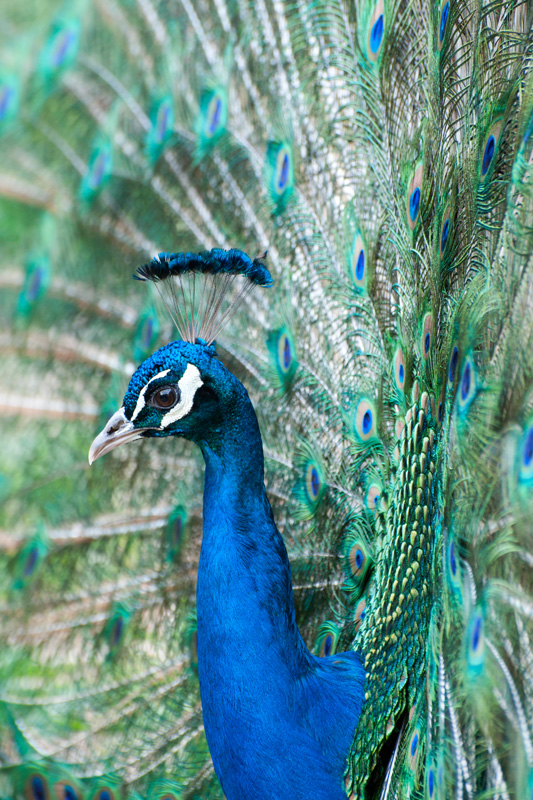 Close-up blauwe pauw - Pavo cristatus