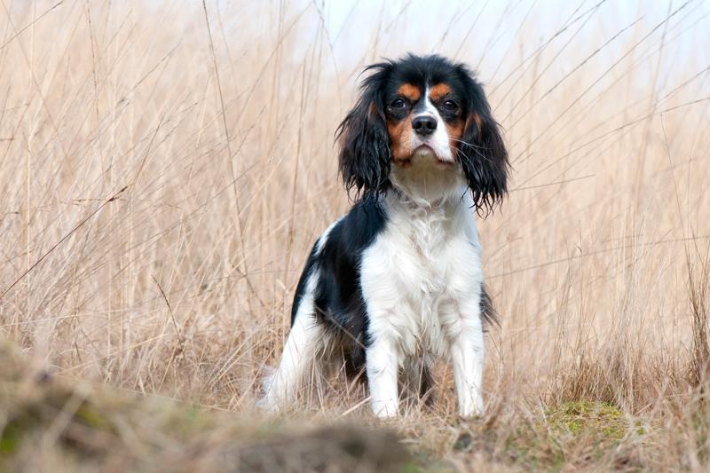 Hond Cavalier King Charles-spaniël op de Posbank