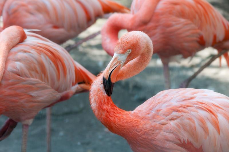 Cubaanse flamingo's - Phoenicopterus ruber