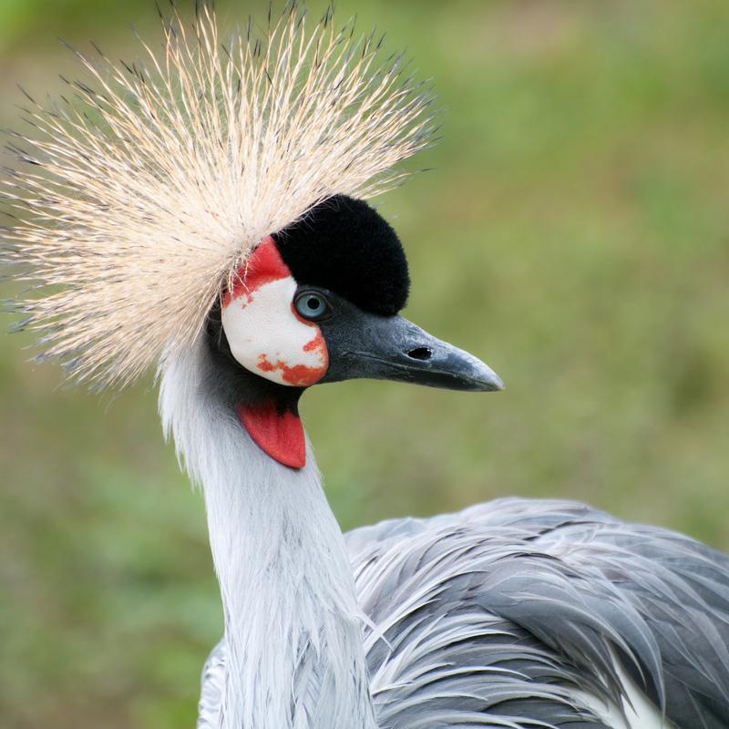 Grijze kroonkraanvogel - Balearica regulorum