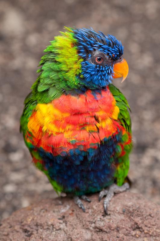 Lori - Felgekleurde papegaai in Avifauna