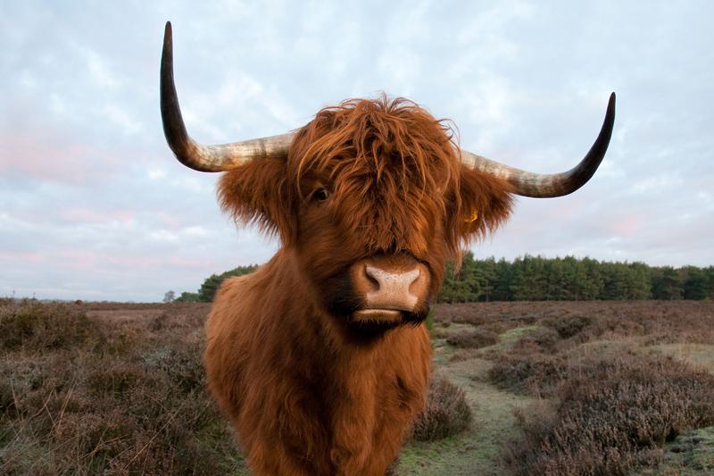 Schotse hooglander Westerheide - Bos taurus