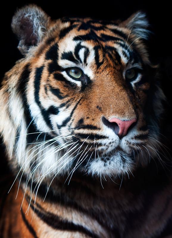 Tijger zwarte achtergrond - Panthera tigris