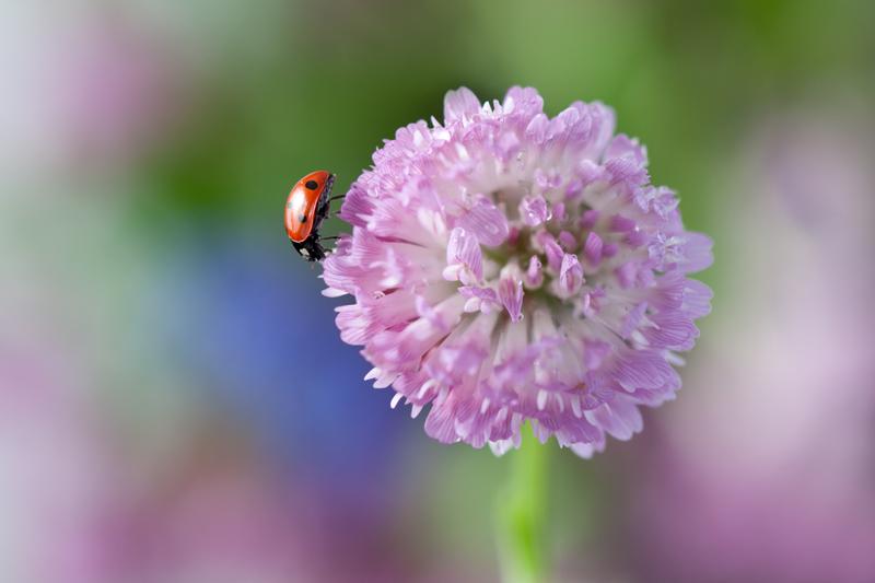 Lieveheersbeestje op rode klaver