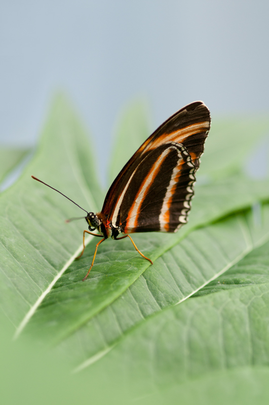 Passiebloemvlinder - Dryadula phaetusa