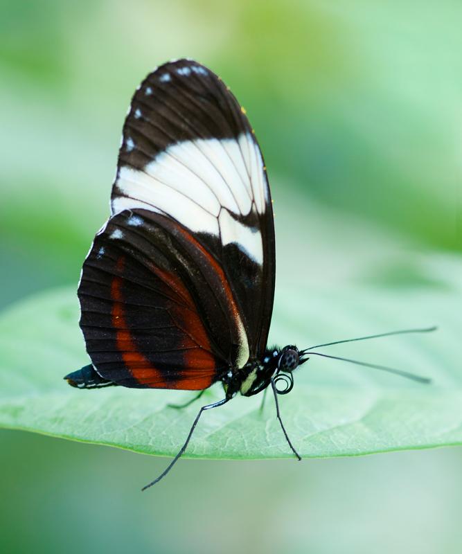 Passiebloemvlinder - Heliconius cydno