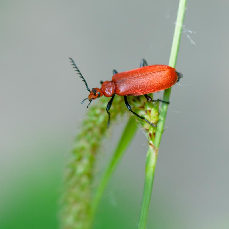 Roodkopvuurkever - Pyrochroa serraticornis